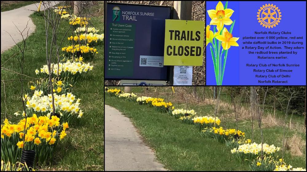 Rotary Trail Daffodils