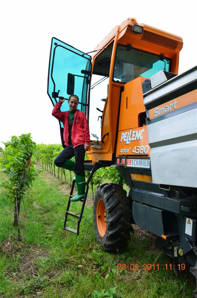 Tanja harvesting grapes