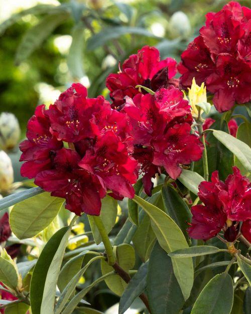 Fellowship: Rhododendron Tour