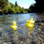 Ducks-in-River
