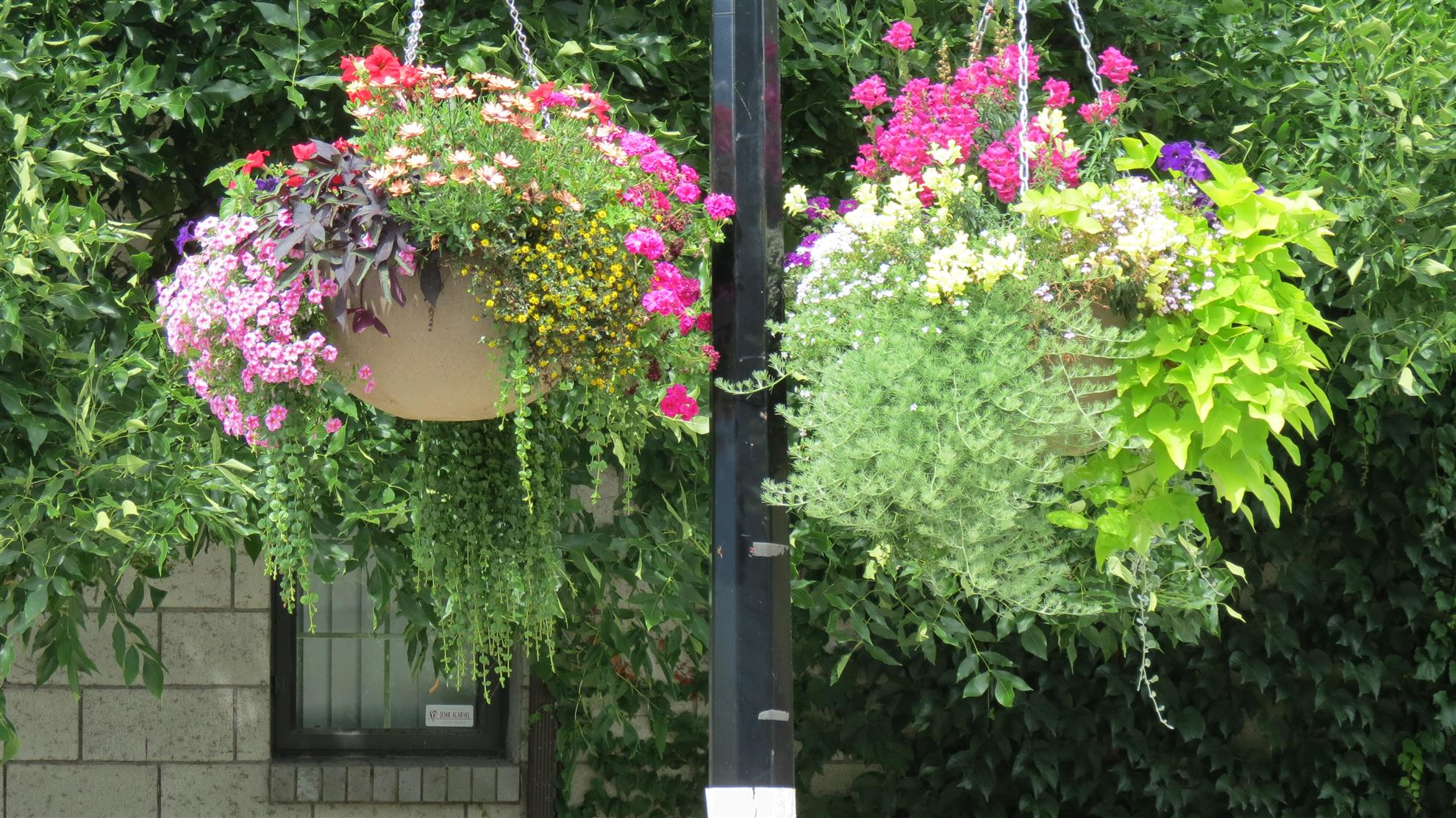 Hanging Baskets Blooming