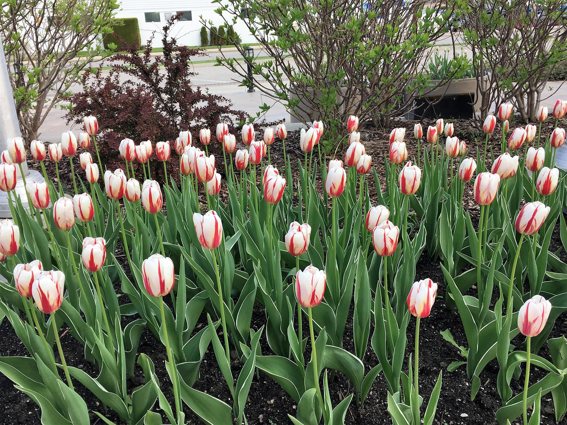 Canada 150 Tulips at City Hall