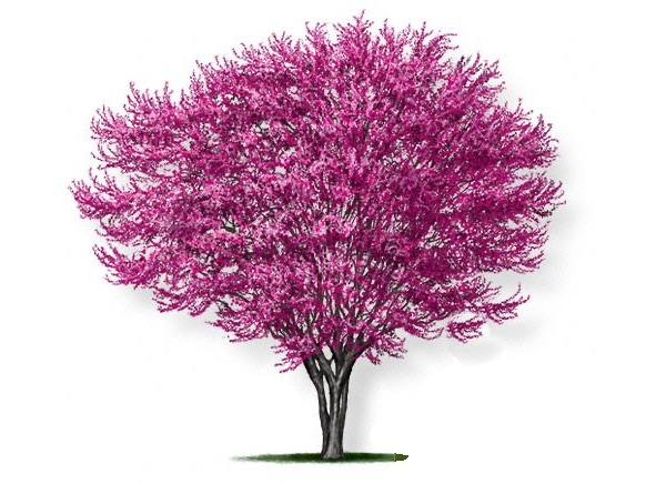 Redbud Tree Pruning Event May 9