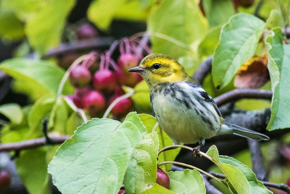 black throated green warbler photo by Jack Rothman