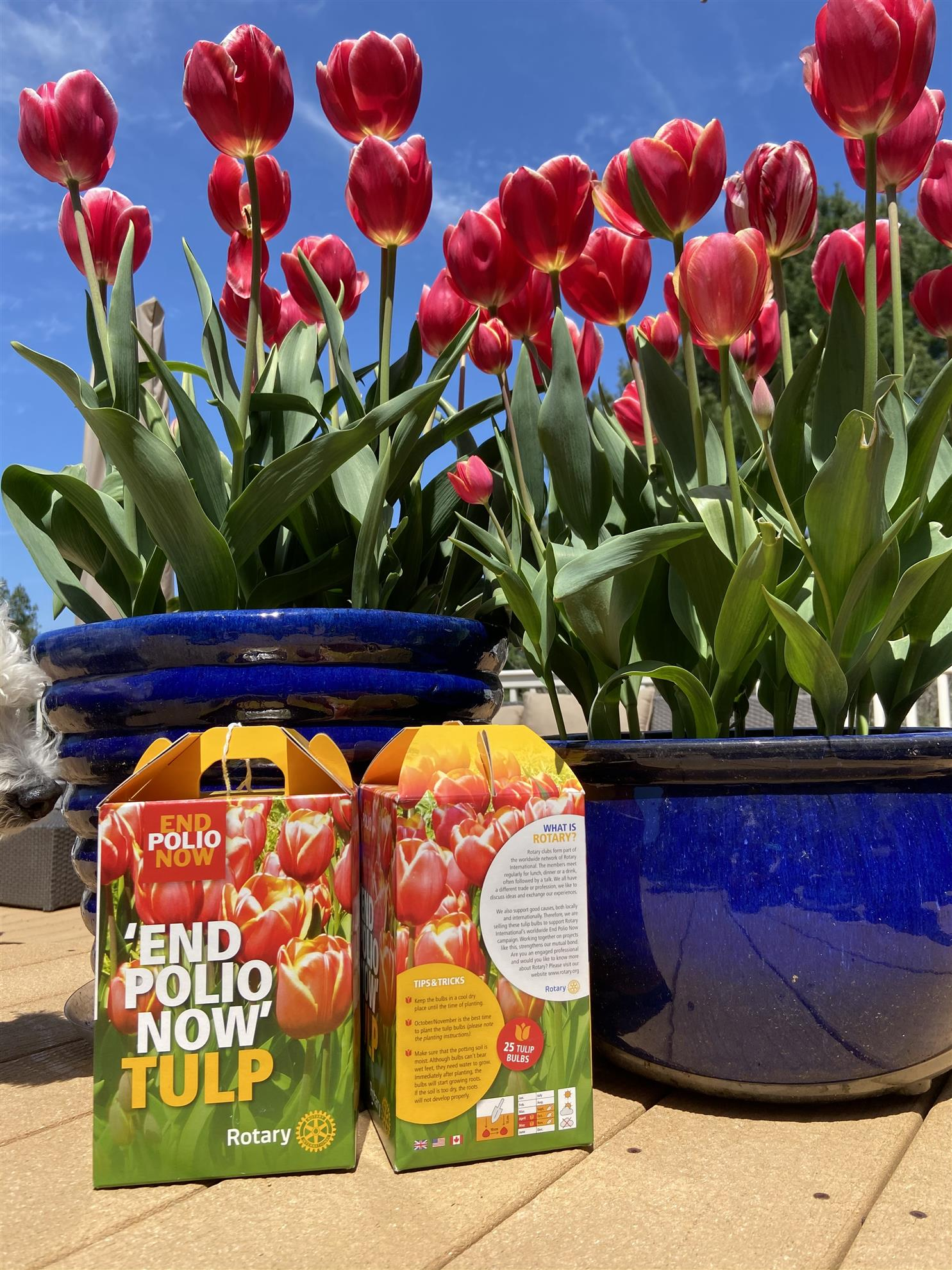 End Polio Now Tulips